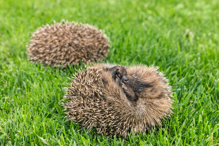 two curled up baby hedgehogs sleeping on grass Stock Photo