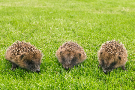 closeup of three baby hedgehogs searching for food on grass