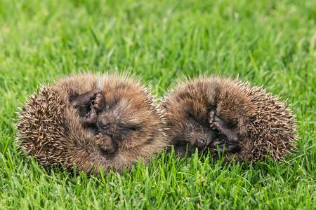 closeup of two young hedgehogs sleeping on lawn 写真素材 - 95008402