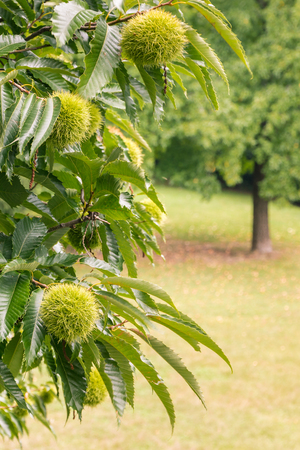close-up of sweet chestnut tree with chestnuts in husks