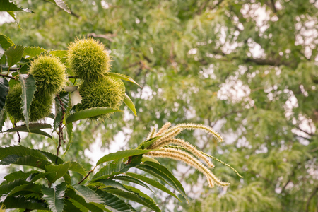 sweet chestnuts and flowers in husks growing on chestnut tree