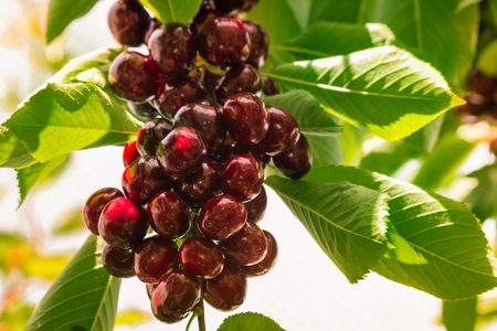 bunch of ripe cherries on cherry tree Stock Photo