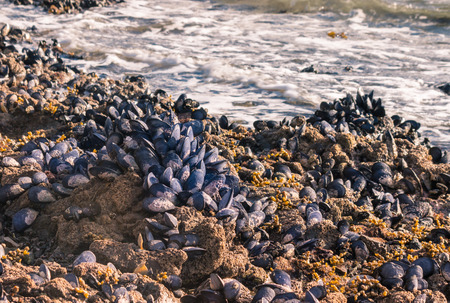 closeup of blue mussels colony living on rocky beach