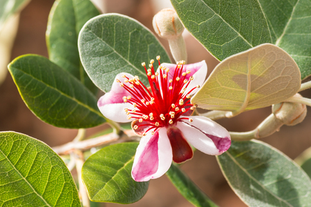 detail of pineapple guava flower and buds