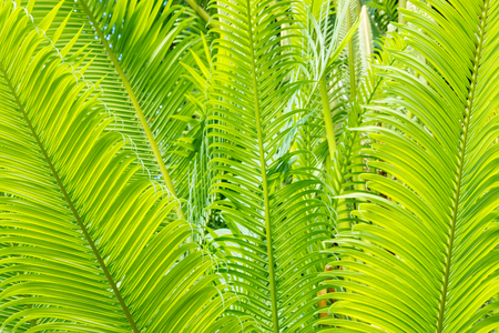 detail of bright green tropical palm tree leaves