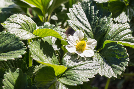 detail of garden strawberry plant leaves and flower