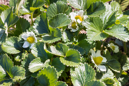 garden strawberry plant with flowers in bloom
