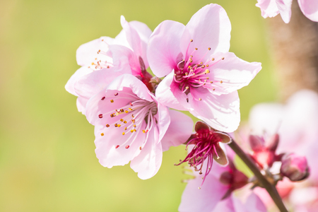 closeup of pink peach flowers in bloom with blurred green background Foto de archivo