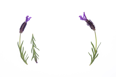 closeup of Spanish lavender flowers on white background with copy space