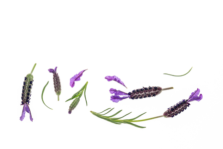 collection of French lavender flowers isolated on white background with copy space