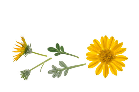 yellow gazania flowers isolated on white background with copy space above