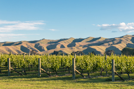 sunset over vineyard with rolling hills in background, blue sky and copy space above Banco de Imagens