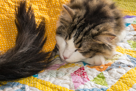 closeup of ragdoll cat sleeping under yellow quilt cover