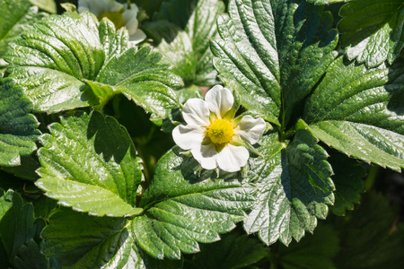 closeup of garden strawberry flower and leaves