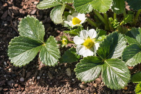 closeup of garden strawberry plant with flowers in bloom growing in garden