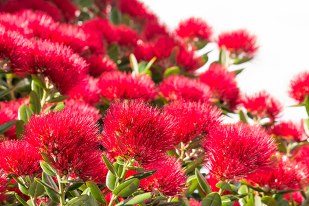 red Pohutukawa tree flowers in bloom isolated on white background Stock fotó