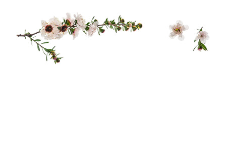 white manuka tree flowers on white background with copy space below 版權商用圖片 - 114522940