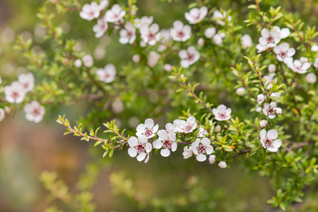 isolated white manuka tree flowers in bloom with blurred background Banco de Imagens