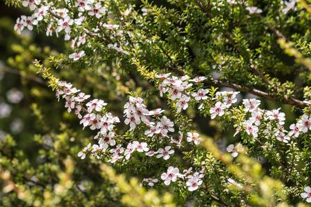 white manuka flowers growing on manuka bush in forest