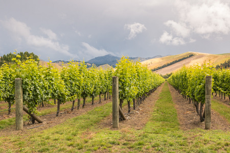 rows of grapevine in New Zealand vineyard with dramatic stormy sky