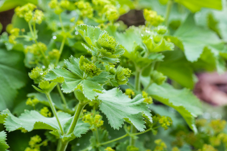 close up of Alchemilla vulgaris - lady's mantle plant with flowers in bloom Banco de Imagens