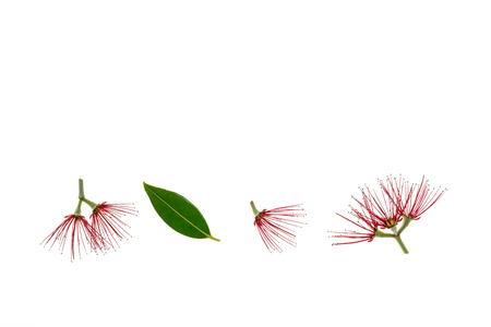 closeup of New Zealand Christmas tree red flowers on white background with copy space above