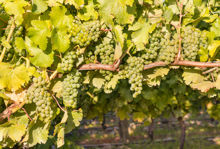 Sauvignon Blanc grapes ripening on vine in vineyard with copy space below