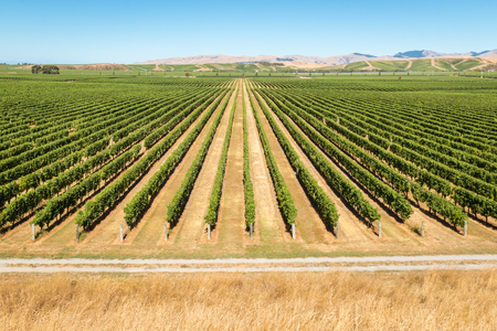 rows of grapevine in New Zealand vineyards with copy space Banco de Imagens