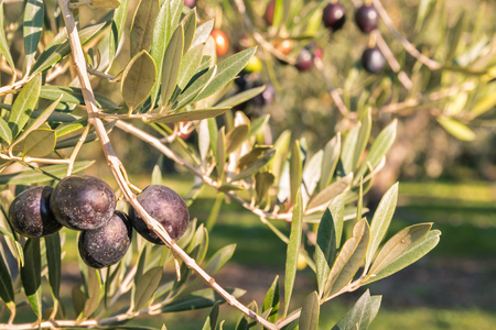 close-up of ripe black olives on olive tree