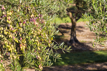 Kalamata olives ripening on olive tree with blurred background of olive grove