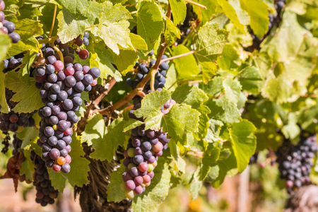 bunches of ripe Pinot Noir grapes on vine in vineyard at harvest time