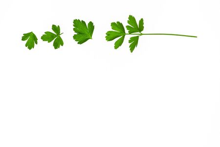 fresh garden parsley leaves on white background with copy space below