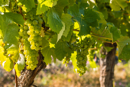 backlit bunches of ripe Sauvignon Blanc grapes on vine in vineyard with copy space