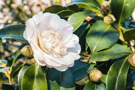closeup of white double-flowered hybrid camellia flower Foto de archivo