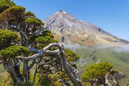 gnarled pine tree growing in Egmont National Park with Mount Taranaki in background