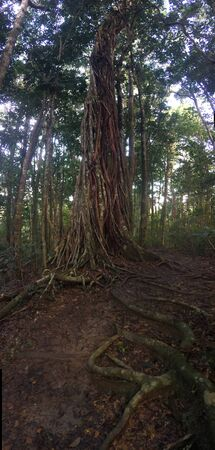 giant fig tree tangled with lianas growing in tropical rainforest 写真素材