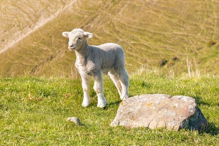 closeup of curious little lamb standing on grass with blurred background and copy space