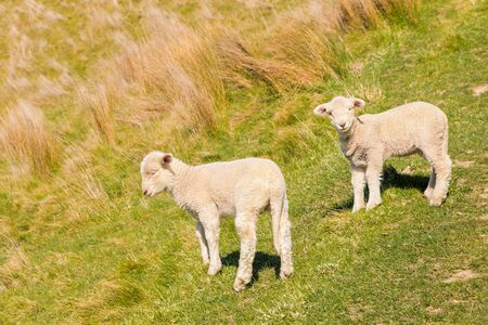 two cute newborn lambs standing on grassy meadow with copy space