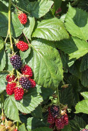 closeup of organic garden blackberries ripening in blackberry bush
