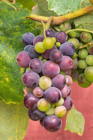 bunch of purple table grapes ripening on grapevine in organic vineyard Reklamní fotografie