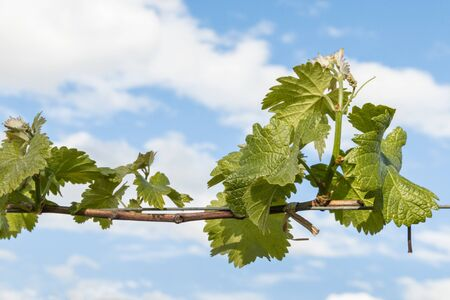fresh vine shoots and leaves against blue sky with copy space