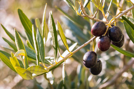 closeup of olive branch with ripe black olives and blurred background 스톡 콘텐츠
