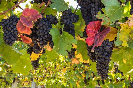 bunches of ripe Pinot Noir grapes on vine in vineyard at harvest time with blurred background and copy space