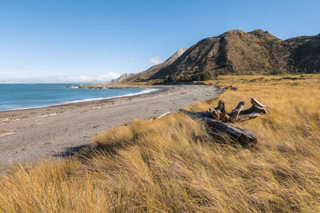 tussock growing on sand dunes at the Ward Beach in Marlborough region of the South Island, New Zealand