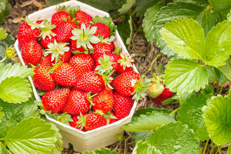 strawberry garden with freshly picked strawberries in a carton punnet 스톡 콘텐츠