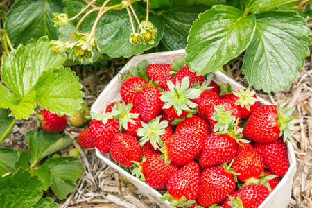 detail of a strawberry plant growing in organic garden with a carton punnet full of ripe strawberries 스톡 콘텐츠