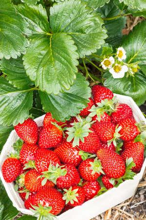 carton punnet full of freshly picked strawberries in organic garden