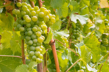 bunch of ripe sauvignon blanc grapes on vine in vineyard with blurred background and copy space