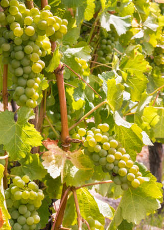 bunches of ripe pinot gris grapes on vine in vineyard with blurred background