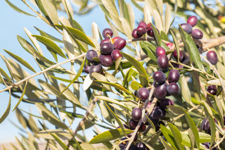closeup of black Spanish olives ripening on olive tree against blue sky
